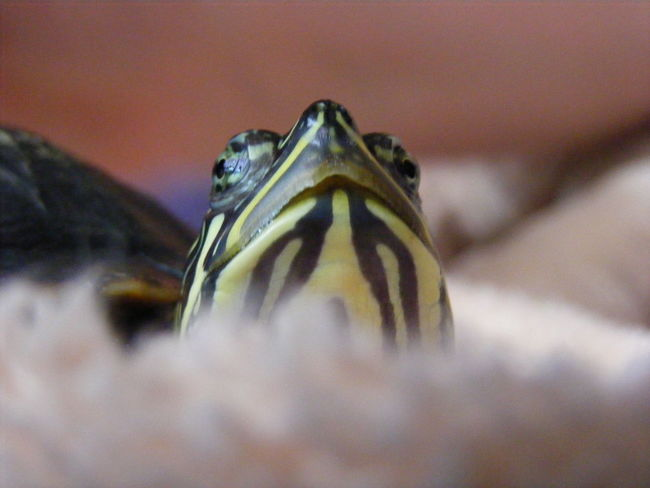 Animal Head  Animal Themes Close-up Cooter One Animal Reptile Terrapin Turtle