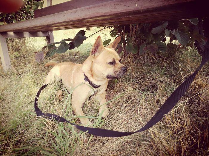Dogsofinstagram Frenchbulldog Shibainu Der Kleine Mex One Animal First Eyeem Photo Frenchbulldoglovers
