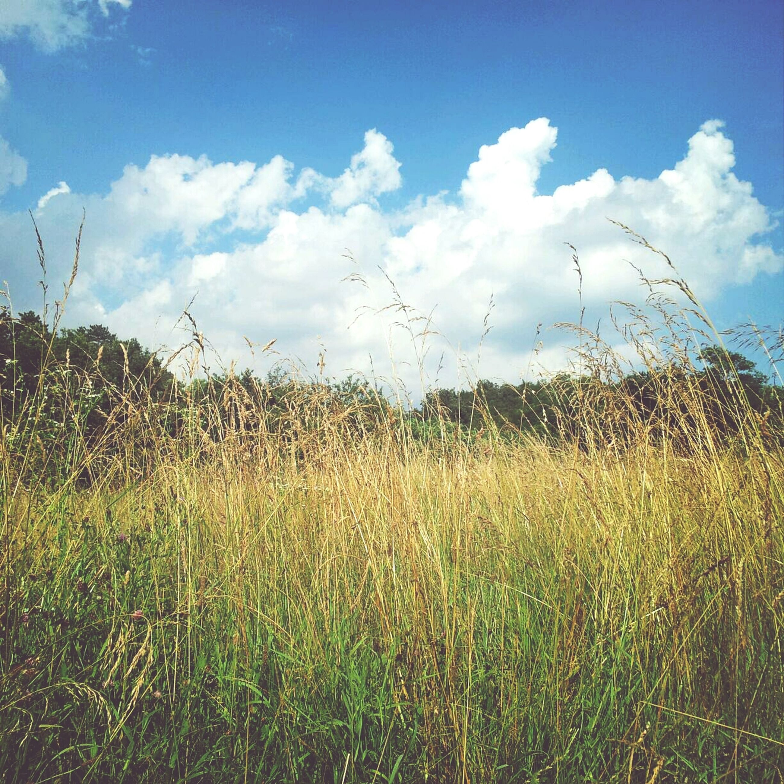 sky, grass, field, growth, tranquility, tranquil scene, cloud - sky, plant, nature, beauty in nature, cloud, landscape, scenics, blue, rural scene, grassy, agriculture, day, cloudy, green color