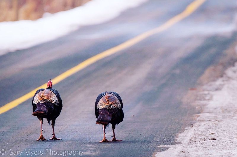Outdoors Full Length Walking Shadow Togetherness Road Turkey Turkeys Trudging Along Adapted To The City
