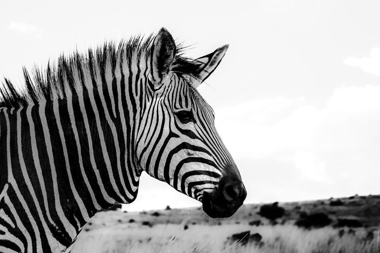 Zebra b&w EyeEmNewHere B&w Zebra Safari Animals Side View Striped Animal Markings Sky Close-up Safari EyeEmNewHere