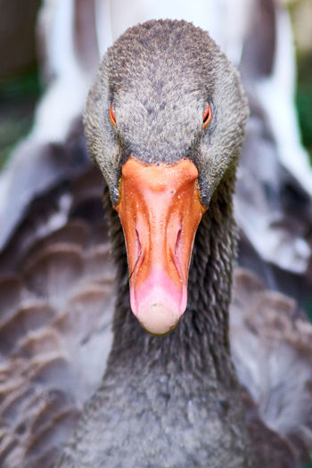 Close-Up Portrait Of Black Swan In Lake