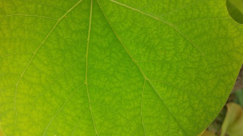 Close up photo of a leaf 3XSPUnity Backgrounds Beauty In Nature Close Up Close-up Day Freshness Full Frame Green Green Color Green Color Leaf Leaf Vein Nature No People Outdoors