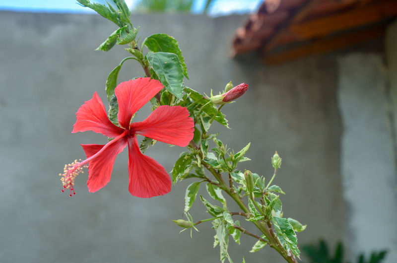 Vulnerability  Fragility Plant Flowering Plant Beauty In Nature Flower Growth Freshness Flower Head Close-up Petal Focus On Foreground Inflorescence Red Leaf Plant Part Nature Hibiscus Day No People Outdoors Pollen