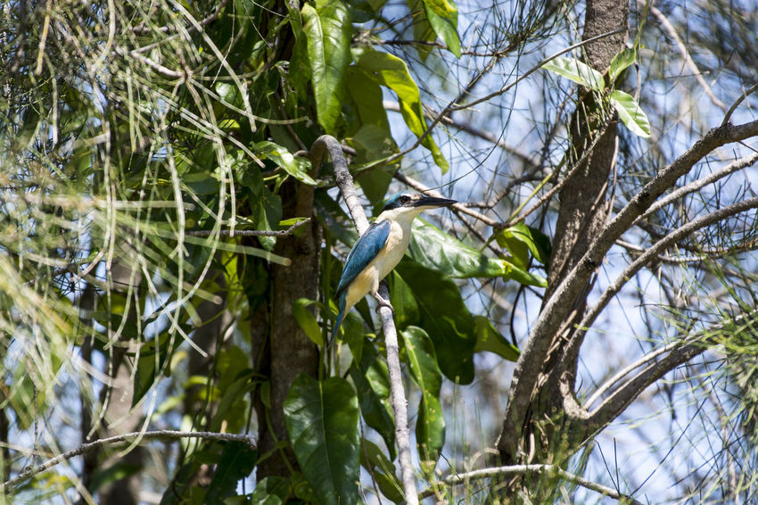Sacred Kingfisher Kingfisher Animals In The Wild Beauty In Nature Branch Kingfisher Bird One Animal Sacred Kingfisher Tree