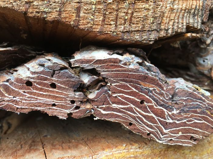 The art of the bark beetles Bark Beetle Bark Beetle Bark Beetle Infestation Close-up Feeding Damage Fire Wood Herbivore Damage Wood Wood - Material Wood Pest