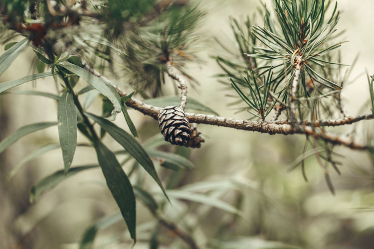 Macro closeup of green pine tree branches with long needles and pine-cones in forest wood.