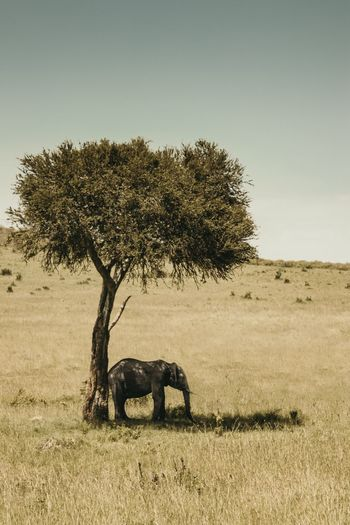 Field Africa Shade Elephant Tree Animals In The Wild Nature Outdoors Animal Themes Landscape Field Mammal Animal Wildlife No People Safari Animals One Animal Grass Day Beauty In Nature Clear Sky African Elephant Sky The Great Outdoors - 2018 EyeEm Awards