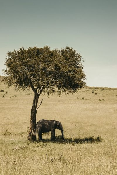 Field Africa Shade Elephant Tree Animals In The Wild Nature Outdoors Animal Themes Landscape Field Mammal Animal Wildlife No People Safari Animals One Animal Grass Day Beauty In Nature Clear Sky African Elephant Sky