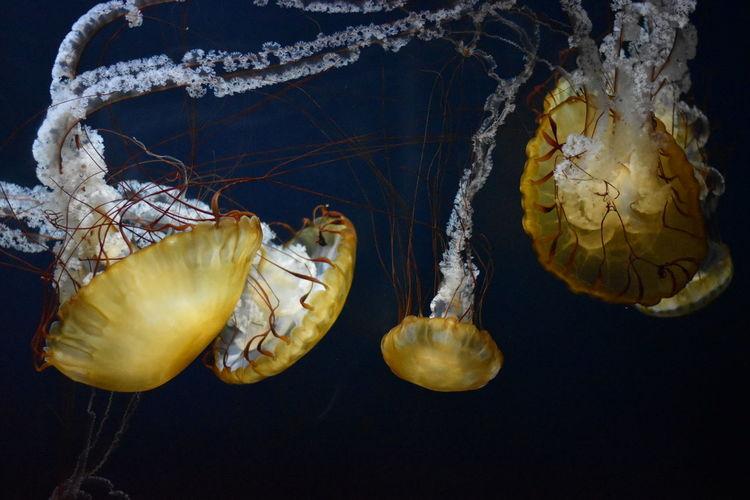 Aquarium Blue Close-up Darkbackground Jellyfish Jellyfishes Nature Orange Pier 39 San Francisco White Yellow