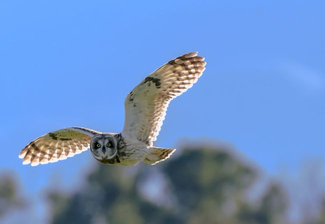 Here's looking at you. Flying Animal Themes Animals In The Wild Spread Wings Animal Animal Wildlife One Animal Bird Bird Of Prey Blue Sky Nature No People Motion Mid-air Clear Sky Low Angle View Outdoors Owl Bird In Flight Raptor Hawaii