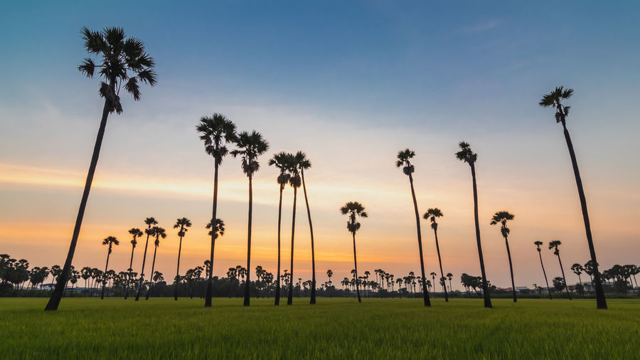 Sunset at Dong Tan, Pathum Thani Plant Palm Tree Tree Sky Sunset Tropical Climate Nature Growth Beauty In Nature Land Grass Scenics - Nature Coconut Palm Tree Tranquility Field Cloud - Sky No People Orange Color Tranquil Scene Outdoors Treelined Tropical Tree