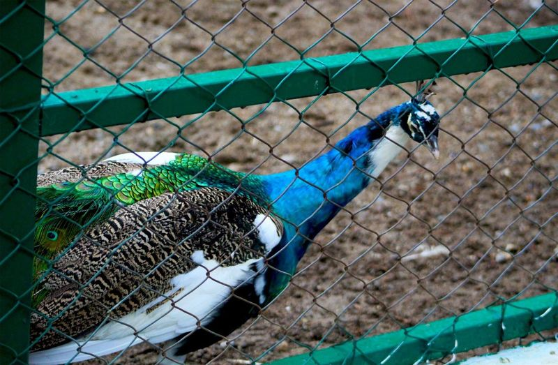 Close-up of peacock on chainlink fence at zoo