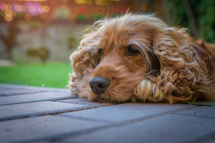 Close-up of goldendoodle relaxing on footpath at park