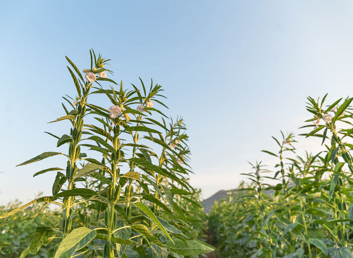 Close-up of crops against clear sky