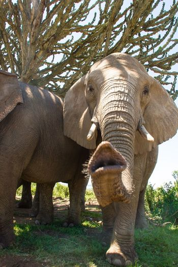 Trunk Elephant Elephant Trunk Elephant Greeting Elephant Extending Trunk Wildlife Nature Wild Animal South Africa