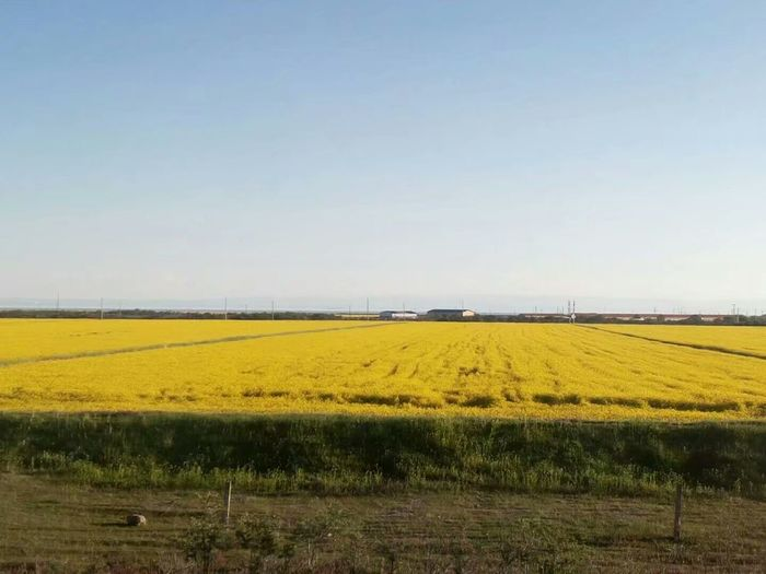 Agriculture Field Farm Crop  Yellow Nature