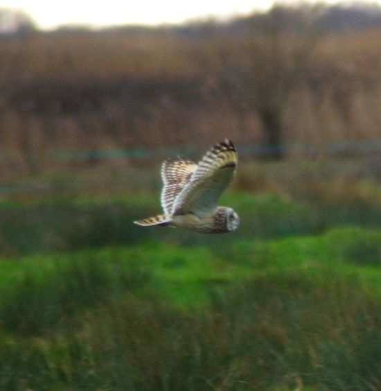 One Animal Flying Animals In The Wild Focus On Foreground Animal Themes No People Day Animal Wildlife Spread Wings Outdoors Close-up Nature Bird Of Prey Seo Malephotographerofthemonth Beauty In Nature Short Eared Owl Short Eared Owl Wildlife Wild Nature Bird Sony A77