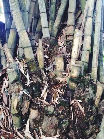 Panda Eat Bamboo Baground Bamboo - Plant Bamboo Bamboo Trees House Gecko House Tree Plants Green Green Color Color Tree On The Tree Outdoor Outside Backgrounds Full Frame Close-up Woods Young Plant Greenery Tree Trunk Panda Giant Panda Panda - Animal Bamboo Grove