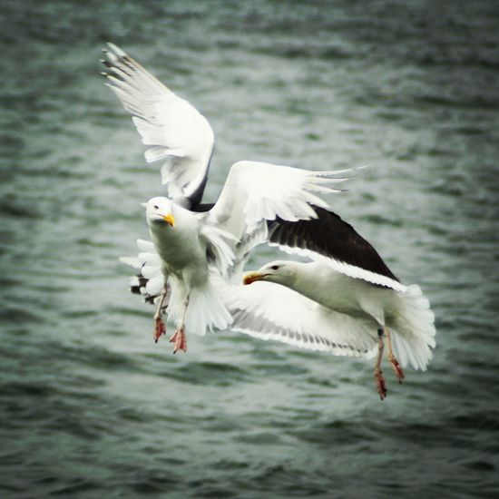 Måsar Bird Spread Wings Flying Water Seagull Motion Flapping Bird Of Prey Mid-air Animal Wing Sea Bird Beak
