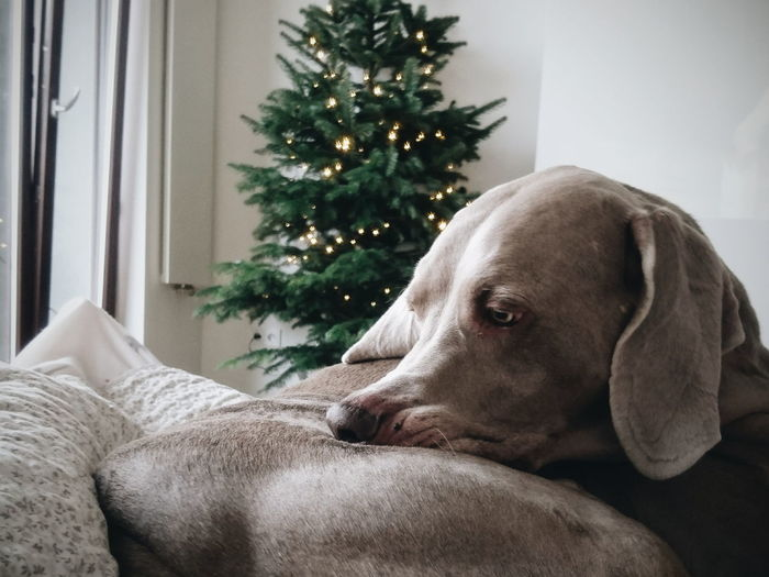 dreamer. Weimaraner Nature Beauty In Nature EyeEm Best Shots EyeEm Best Edits EyeEm Nature Lover Indoors  Dog Domestic Animals Pets One Animal Christmas Animal Themes