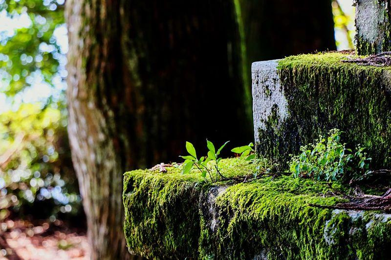 Beautiful Moss Moss-covered Moss Art Mossporn EyeEm Best Edits Green Green Green!  Beautiful Nature Moss & Lichen In The Forest Hakone Japan