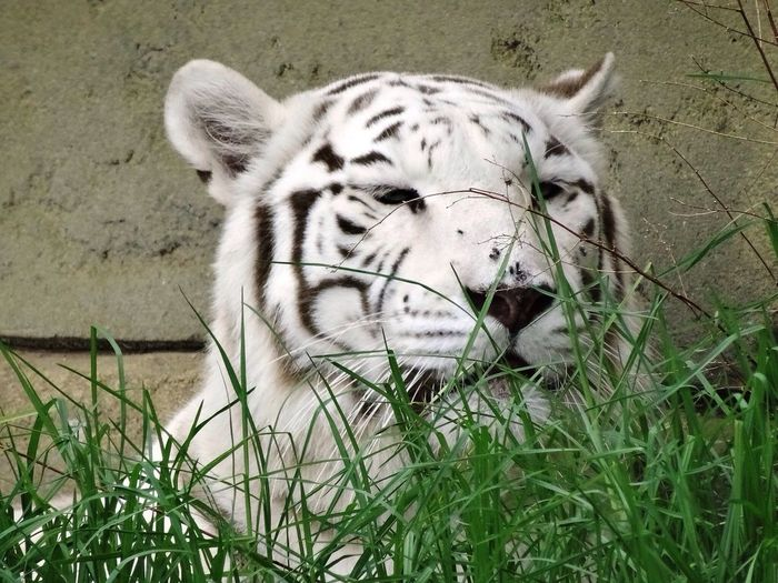 Close-Up Of White Tiger On Grassy Field