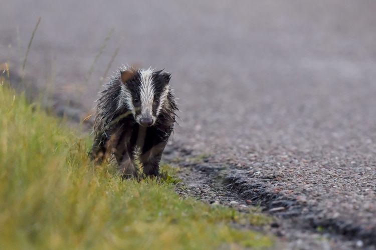 Badger Badger