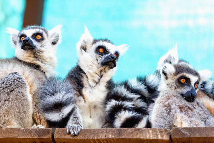 Portrait of lemurs sitting in cage