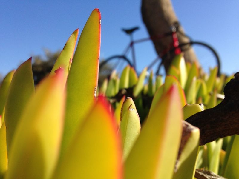 Macro Beauty iceplant X riding bicycle Sanfrancisco California
