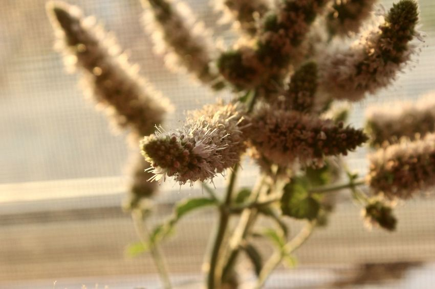 Close-up Day Flower Flower Head Focus On Foreground Fragility Freshness Growth Nature No People Outdoors Plant Thistle