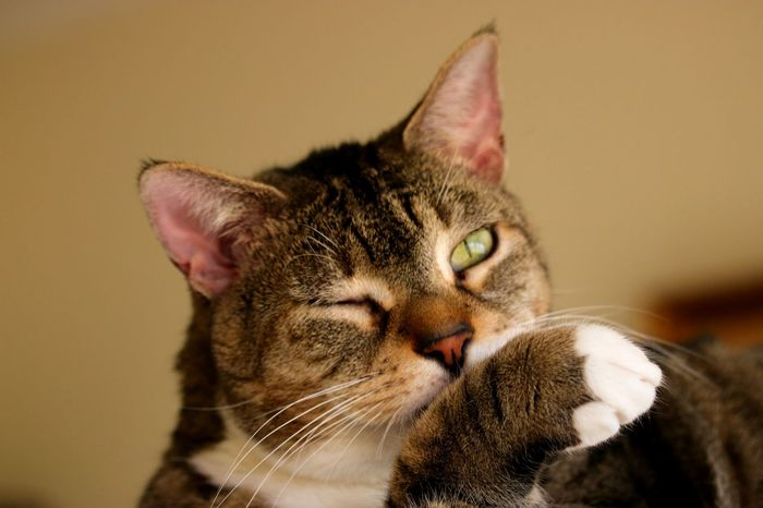 This cat appears to be winking while grooming a white-toed paw. Animal Themes Brown Noser Close-up Day Domestic Animals Domestic Cat Feline Furry Toes Green Eyes Grooming Indoors  Mammal No People One Animal Pets Toes Whisker Wink Winking Winking Cat