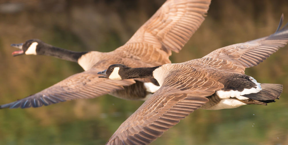 Canada geese in