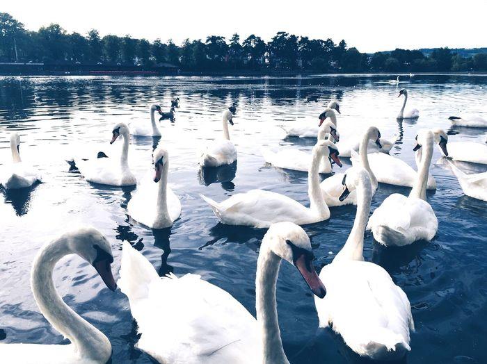 Cardiff Roath Roathpark Nature Swan Summer Photography Taking Photos Wales Photo Hike Water Lake