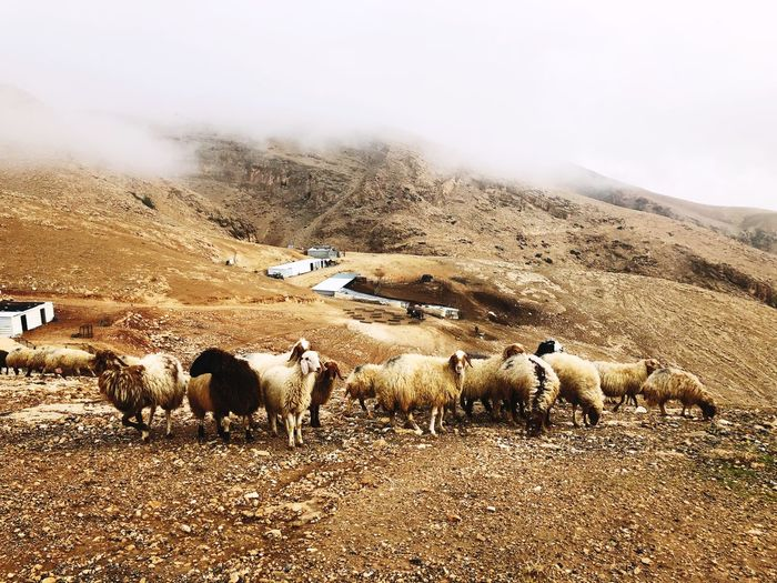 West Bank Palestine Mountain Nature Domestic Animals Mammal Animal Themes Landscape Livestock Beauty In Nature Fog Cold Temperature Outdoors No People Day Large Group Of Animals Winter Mountain Range Sheep Scenics Flock Of Sheep Sky An Eye For Travel