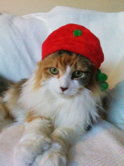 Christmas Kitty! Pet Photography  Pets Corner Cute Pets My Cat Is Cooler Than Your Kids!