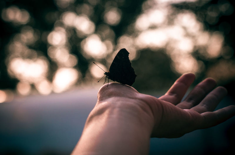 Cropped hand holding butterfly during sunset