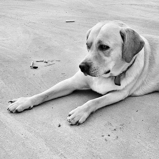 Labrador Lablove Labradorsofinstagram Instadog Blackandwhitephotography Mobilephotography Samsung S6 Dogsofinstagram Dogsarebestfriends