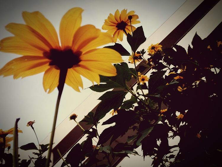 Yellow Flower Freshness Growth Low Angle View Springtime