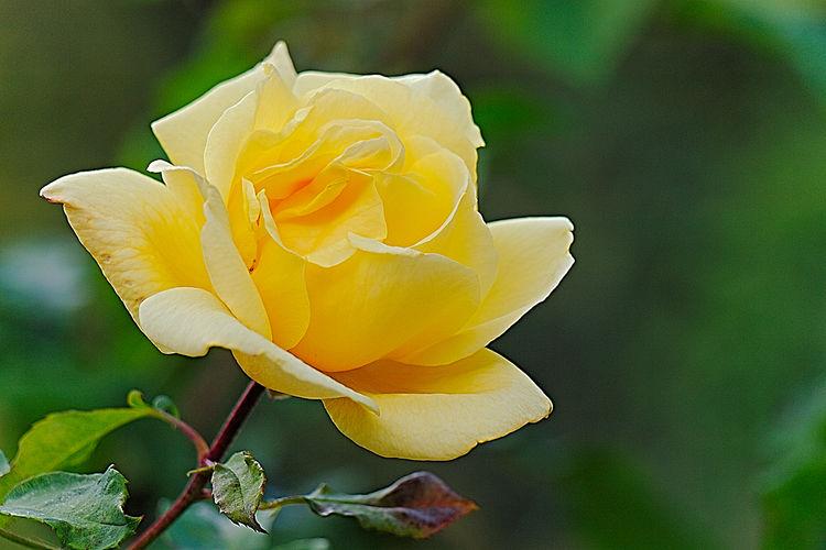 Gartenblumen Rose♥ Roses🌹 Roses Gelbe Rosen Helmut Schmidt Rose Helmut Schmidt