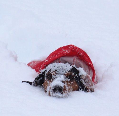 Snow Dog Weiner-Dog Dachshund Red