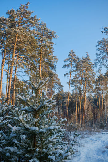 Snow covered trees in forest against clear sky
