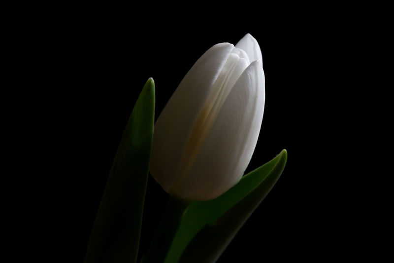 Flower Fragility Delicate Leaf Black Background Petal Plant Nature Beauty In Nature Flower Head Tulip White White Tulip Studio Shot Close-up Lit From Above Illuminated Light And Shadow Perspectives On Nature See The Light