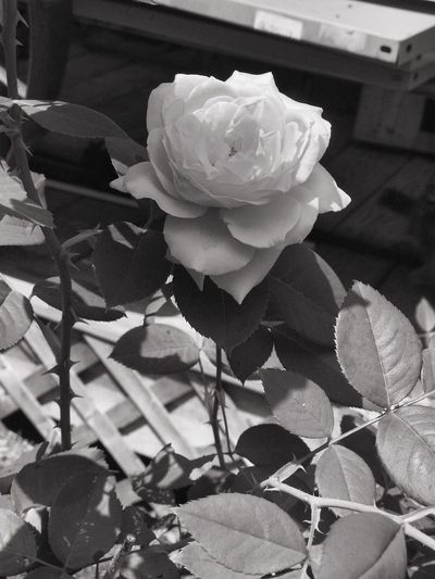 Close-up of white rose blooming outdoors