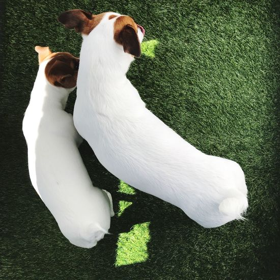 Pets Dog Jack Russell ヴィクトールとヒューゴ