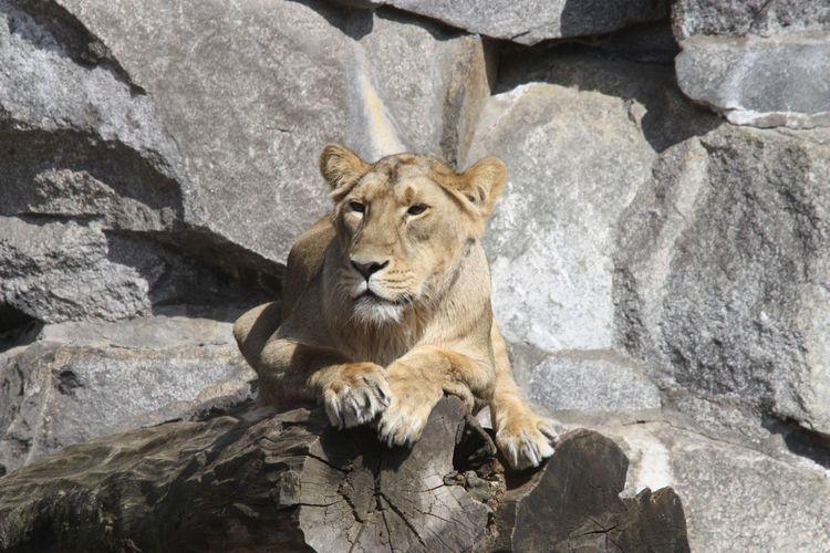Portrait of lion on rock