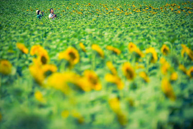 People photographing amidst sunflowers