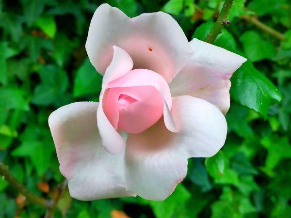 The Great Outdoors - 2016 EyeEm Awards Flowers Flower Fleur Fleurs FLEUR ROSE 🌹ROSE🌹 Dans Mon Jardin Insecte Spider Araignée