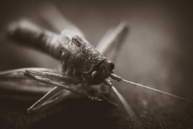 One Animal Animal Themes Animal Insect Close-up Nature Macro Insect Macro  Macro Photography Sepia Animal Body Part Grasshopper Photography Lover