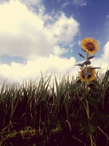 Flower Head Flower Rural Scene Summer Field Cereal Plant Sky Close-up Plant Cloud - Sky